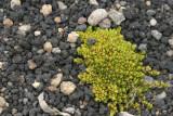 El Musgo es Comun y Crece en el Terreno Arenoso