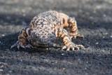 Reptiles & Amphibians of Sabino Canyon