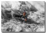 Flies_7839ds.jpg