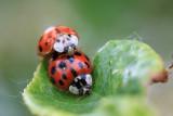 Accouplement de coccinelles - Lady bug coupling