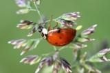 Cette coccinelle est en train de pondre - This lady bug is laying its eggs