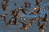 Flying shorebirds