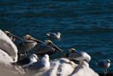 Pelicans on CBBT