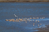 Marbled Godwits, Dowitchers and Willets