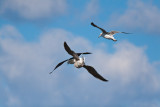 Great Black-backed Gulls colliding in the wind