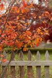 Autumn serviceberry