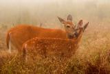 Doe and fawn, Big Meadows, Shenandoah National Park