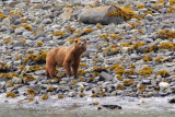 Brown Bear mother, Glacier Bay