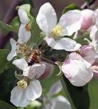 IMG_0278--abeille-800.jpg