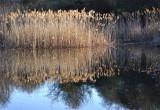 Evening Light Reeds
