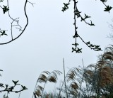 Reeds Far Away