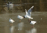 Gulls 04.jpg
