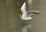 Gulls 07.jpg