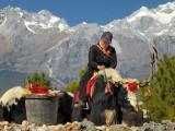 Minority Tibetian Tribe Native Riding on a Hairy Bull