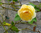 Yellow Roses and Stone