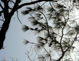 Pineing