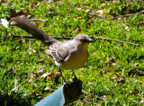 Mockingbird visits