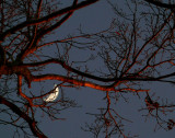 moon through the limbs