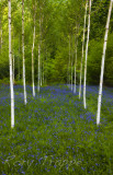 Birch trees and bluebells.