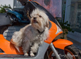 Bikers Guard dog !!!