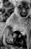 apesbw.jpg