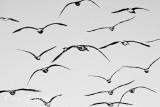 flock of gulls.jpg