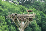 Ospry parents nuturing their fledglings