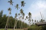 Coconut trees, Kg Sungai Ular