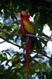 Resident Macaws