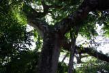 Ceiba Tree - Mature