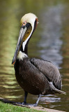 pelicano100307.jpg