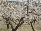 Almond blossom Marin-6.jpg