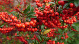 Christmas red berries