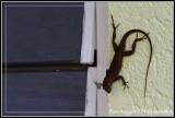Gecko 3