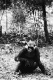 mountain gorilla teenager
