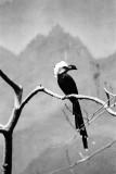 white crowned hornbill