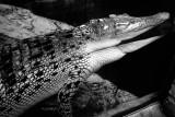 golden crocodile