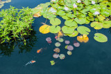 lilly pads with fish