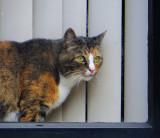 Dutch cat in frame
