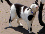 I love my bicycle: I'm a dutch cat!