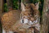 bobcat3087_Bobcat