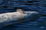 whalebel4061_Beluga Whale