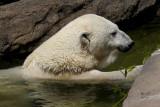 bearpolar4223_Polar Bear