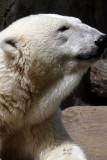 bearpolar4324_Polar Bear