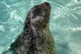 sealharb4371_Harbor Seal
