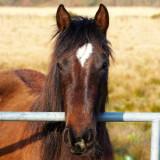 horse at gate .jpg