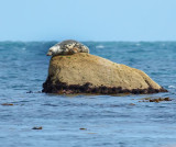 seal on a rock 2.jpg