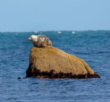 grey seal on a rock 3.jpg
