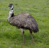 ostrich .jpg