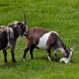 pygmy goats .jpg